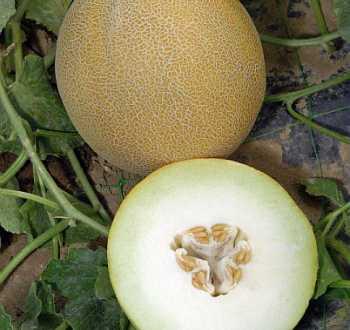Melon.jpg